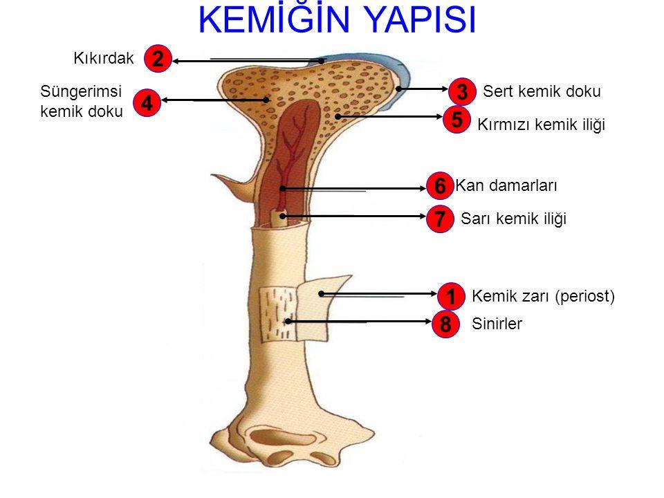 KAN DAMARLARI Kemiği besler. Kırılan yerlerin onarılmasını sağlar. SARI KEMİK İLİĞİ Uzun kemiklerin ortasında bulunur. Yağ depo eder. Sarı kemik iliği
