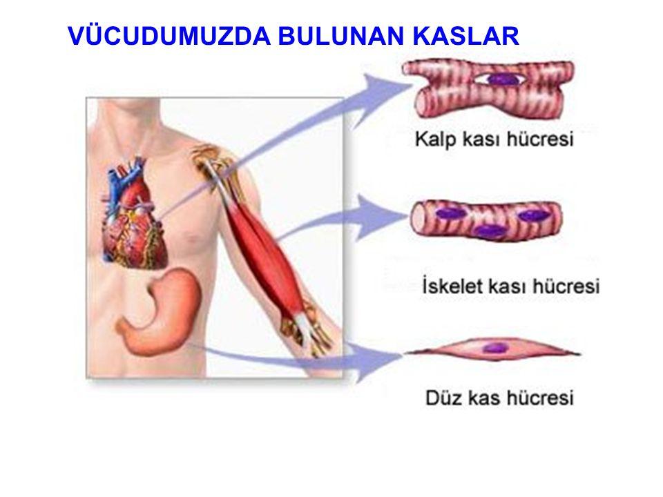 İskeletimizin etrafını saran vücudumuzun şeklini belirleyen, kasılıp gevşeme özelliği ile hareketi sağlayan yapıya kas denir. KAS ÇEŞİTLERİ ÇÇizgili