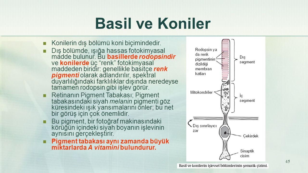 Basil ve Koniler Konilerin dış bölümü koni biçimindedir. Dış bölümde, ışığa hassas fotokimyasal madde bulunur. Bu basillerde rodopsindir ve konilerde