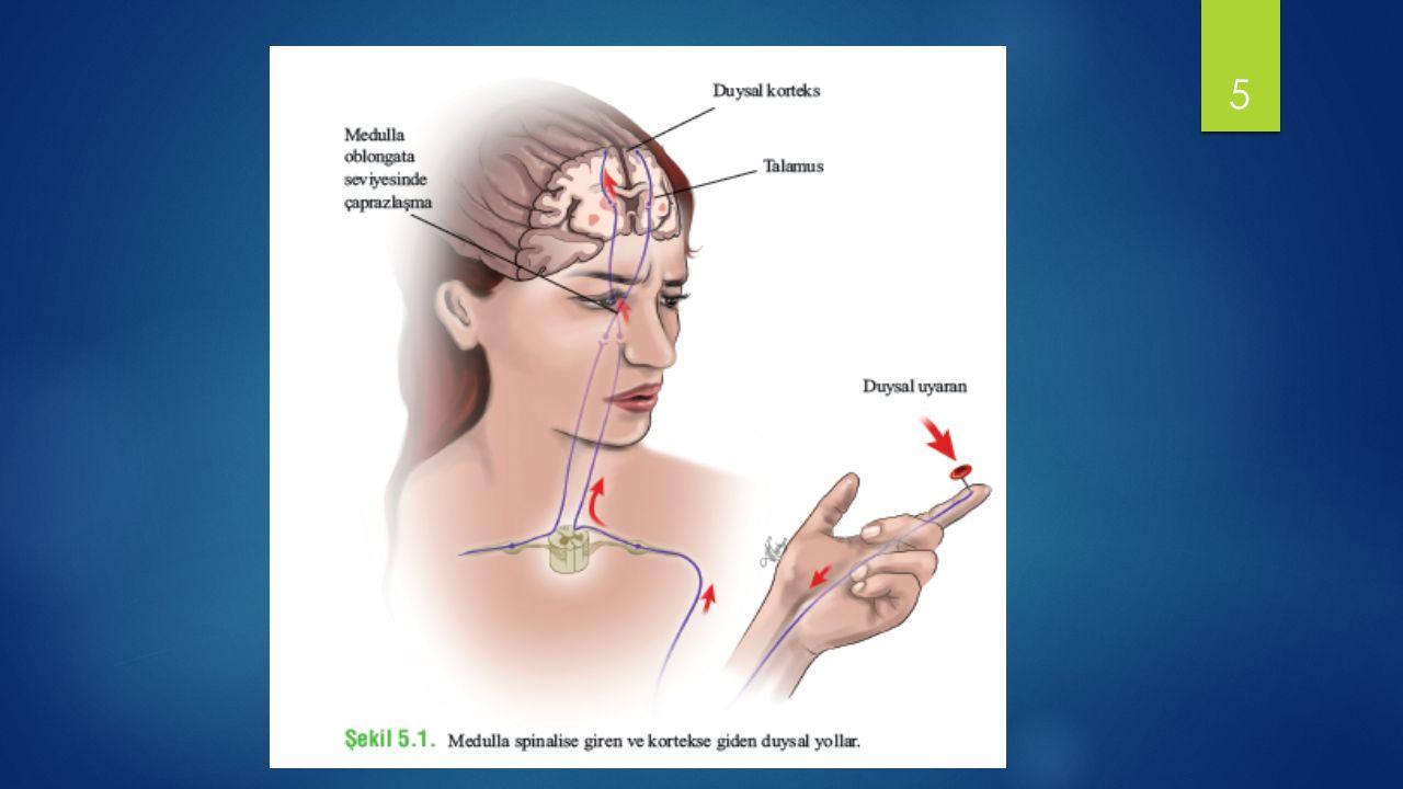 Dokunma – Basınç  Dokunma, basınç ve vibrasyon duyusu  Bu reseptörler mekanoreseptör grubundandır  Serbest sinir uçları, Meissner korpuskülü, Merkel diski, Pacinian korpuskülü, Ruffini sonlanması gibi özelleşmiş reseptörler tüysüz deride, yüzeyde ve derinde, eklem bağları ve tendonlarda, eklem kapsüllerinde bulunurlar.