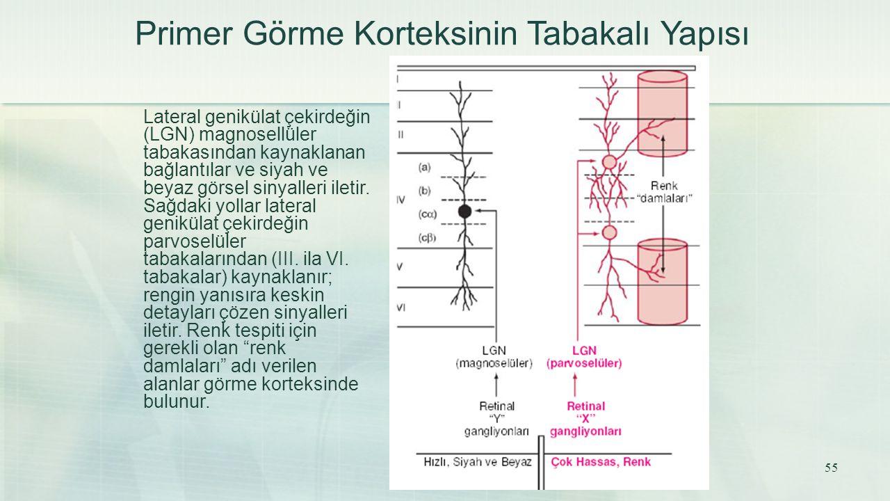 Primer Görme Korteksinin Tabakalı Yapısı Lateral genikülat çekirdeğin (LGN) magnosellüler tabakasından kaynaklanan bağlantılar ve siyah ve beyaz görse