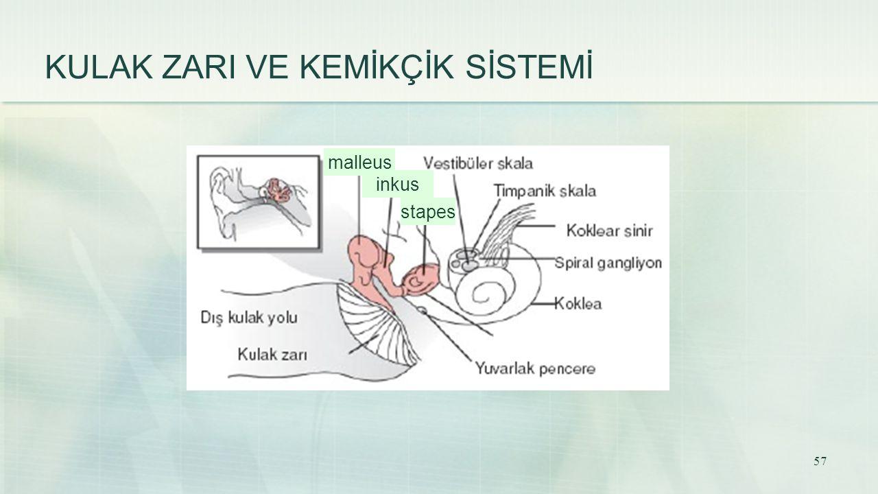 KULAK ZARI VE KEMİKÇİK SİSTEMİ malleus inkus stapes 57