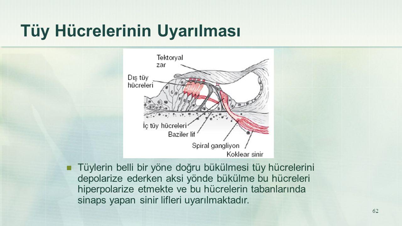 Tüy Hücrelerinin Uyarılması Tüylerin belli bir yöne doğru bükülmesi tüy hücrelerini depolarize ederken aksi yönde bükülme bu hücreleri hiperpolarize e