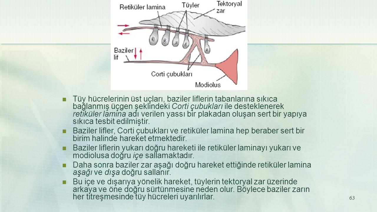 Tüy hücrelerinin üst uçları, baziler liflerin tabanlarına sıkıca bağlanmış üçgen şeklindeki Corti çubukları ile desteklenerek retiküler lamina adı ver