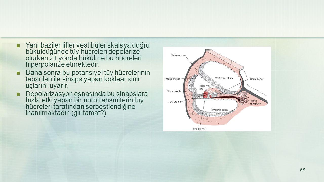 Yani baziler lifler vestibüler skalaya doğru büküldüğünde tüy hücreleri depolarize olurken zıt yönde bükülme bu hücreleri hiperpolarize etmektedir. Da