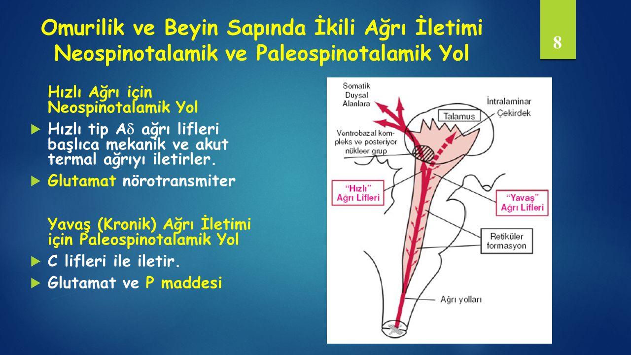 Omurilik ve Beyin Sapında İkili Ağrı İletimi Neospinotalamik ve Paleospinotalamik Yol Hızlı Ağrı için Neospinotalamik Yol  Hızlı tip A  ağrı lifleri