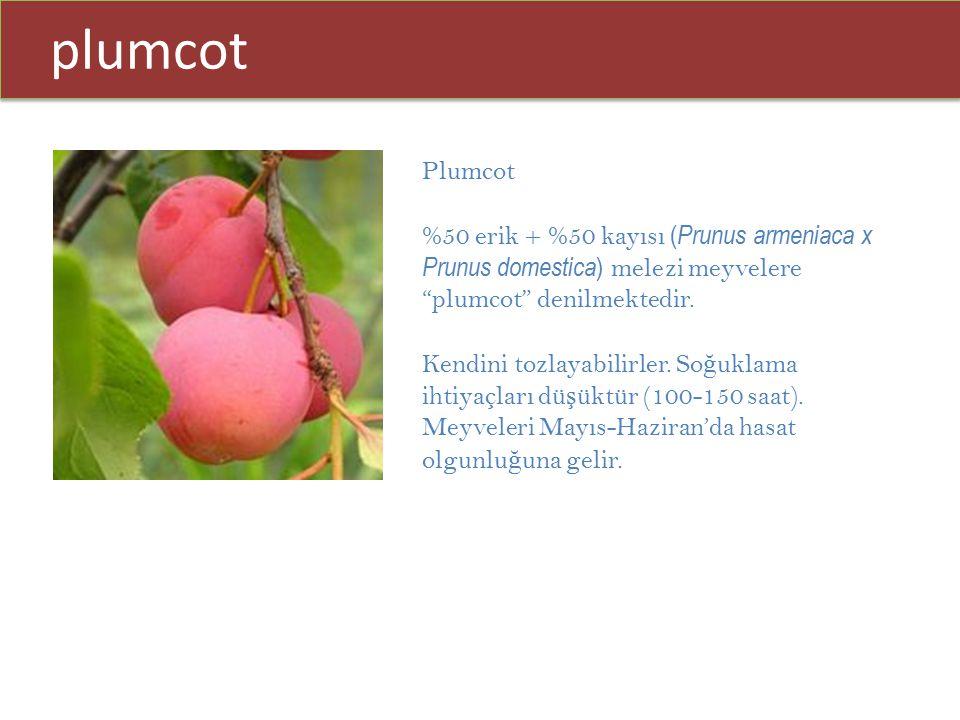 """plumcot Plumcot %50 erik + %50 kayısı ( Prunus armeniaca x Prunus domestica ) melezi meyvelere """"plumcot"""" denilmektedir. Kendini tozlayabilirler. So ğ"""