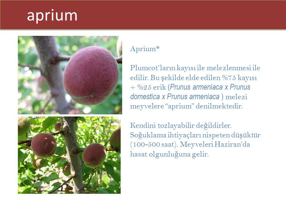aprium Aprium* Plumcot'ların kayısı ile melezlenmesi ile edilir. Bu ş ekilde elde edilen %75 kayısı + %25 erik ( Prunus armeniaca x Prunus domestica x