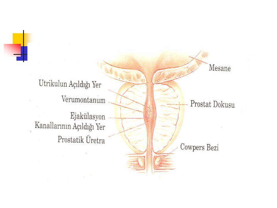 Epitelyal hücreler 4 temel hücre grubundan oluşur.