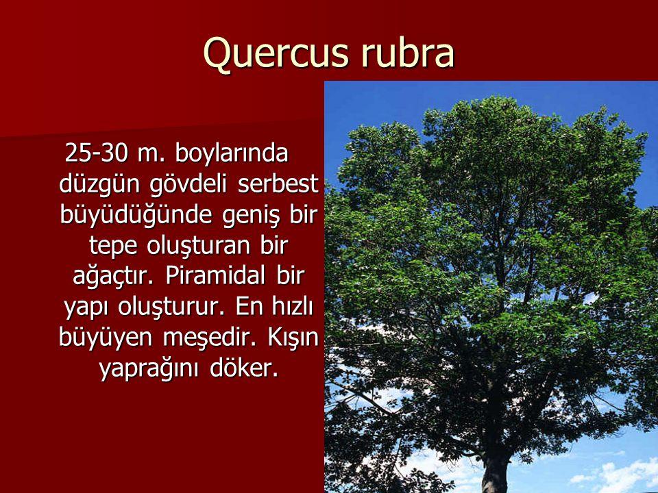 Quercus rubra 25-30 m. boylarında düzgün gövdeli serbest büyüdüğünde geniş bir tepe oluşturan bir ağaçtır. Piramidal bir yapı oluşturur. En hızlı büyü