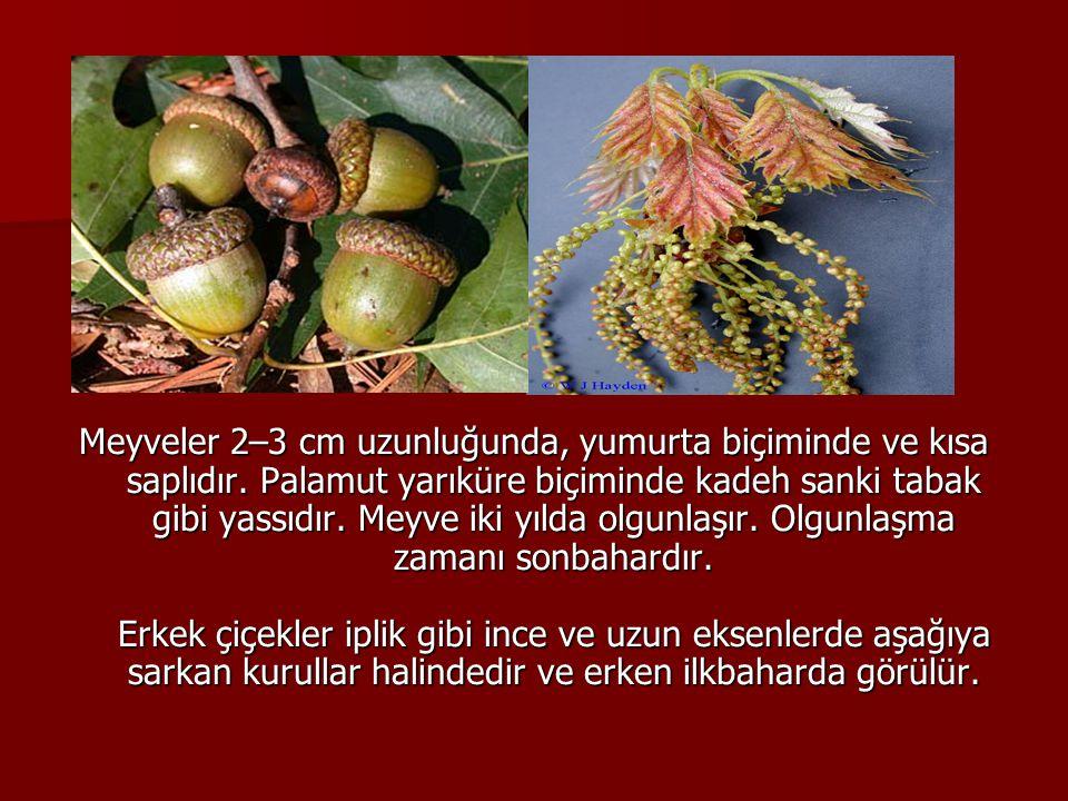 Meyveler 2–3 cm uzunluğunda, yumurta biçiminde ve kısa saplıdır. Palamut yarıküre biçiminde kadeh sanki tabak gibi yassıdır. Meyve iki yılda olgunlaşı