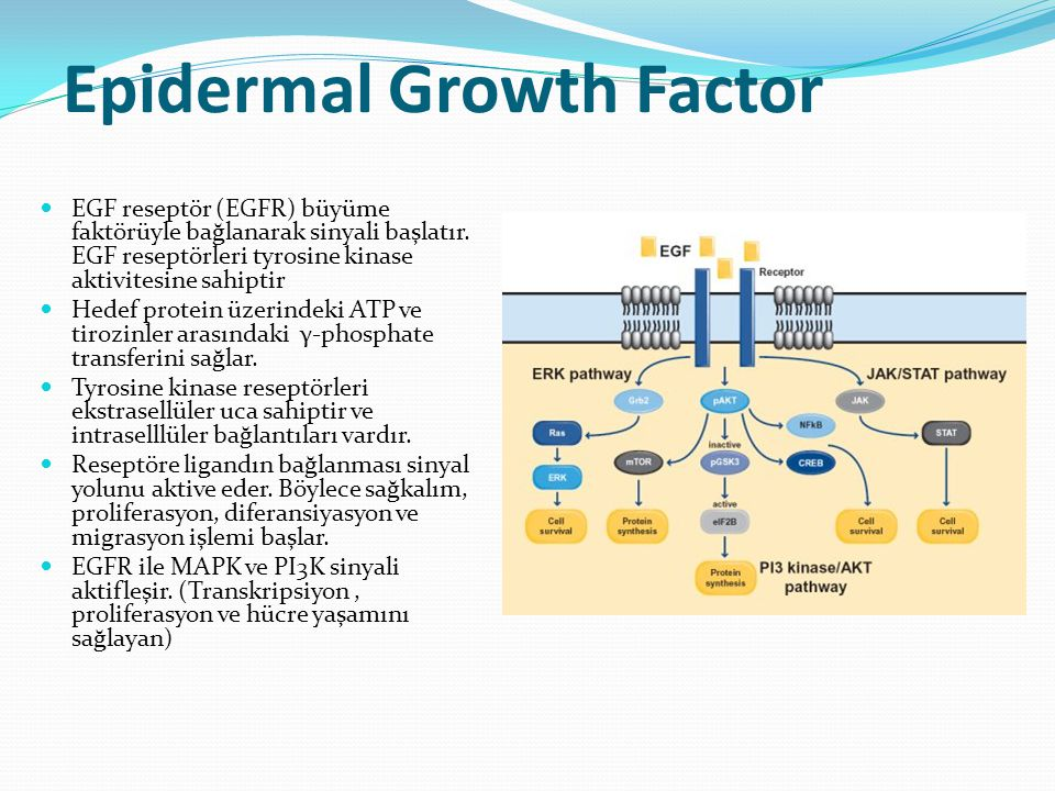 Epidermal Growth Factor EGF reseptör (EGFR) büyüme faktörüyle bağlanarak sinyali başlatır.