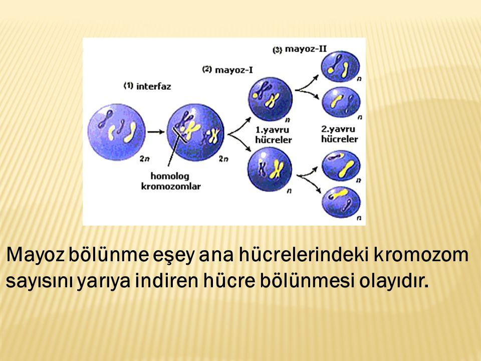 Mayoz bölünme eşey ana hücrelerindeki kromozom sayısını yarıya indiren hücre bölünmesi olayıdır.