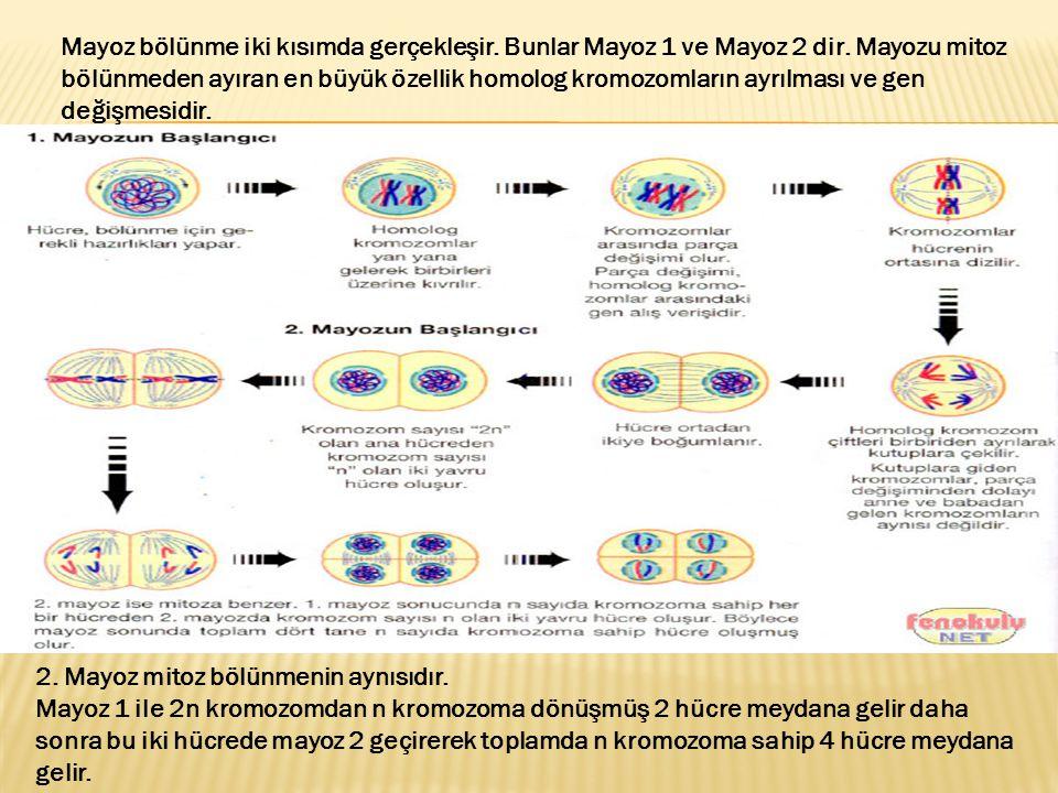 Mayoz bölünme iki kısımda gerçekleşir. Bunlar Mayoz 1 ve Mayoz 2 dir. Mayozu mitoz bölünmeden ayıran en büyük özellik homolog kromozomların ayrılması