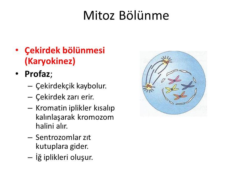 Metafaz; – Kromozomlar hücrenin ortasında kardeş kromotitleri karşılıklı gelecek şekilde dizilir.