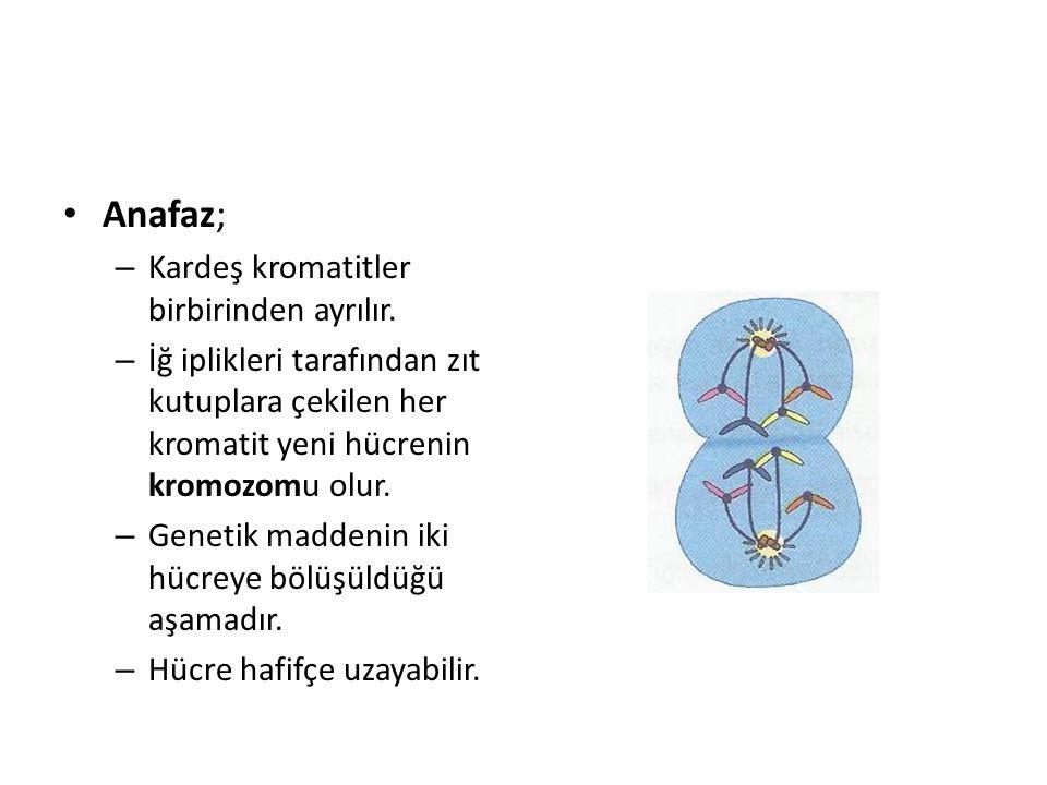 Anafaz; – Kardeş kromatitler birbirinden ayrılır. – İğ iplikleri tarafından zıt kutuplara çekilen her kromatit yeni hücrenin kromozomu olur. – Genetik