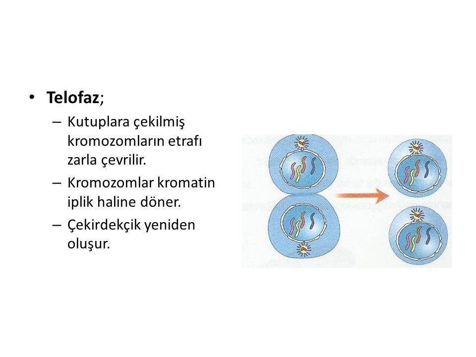 Telofaz; – Kutuplara çekilmiş kromozomların etrafı zarla çevrilir. – Kromozomlar kromatin iplik haline döner. – Çekirdekçik yeniden oluşur.