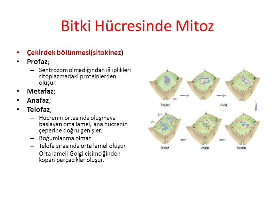 Bitki Hücresinde Mitoz Çekirdek bölünmesi(sitokinez) Profaz; – Sentrozom olmadığından iğ iplikleri sitoplazmadaki proteinlerden oluşur. Metafaz; Anafa
