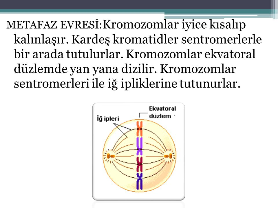 METAFAZ EVRESİ: Kromozomlar iyice kısalıp kalınlaşır. Kardeş kromatidler sentromerlerle bir arada tutulurlar. Kromozomlar ekvatoral düzlemde yan yana