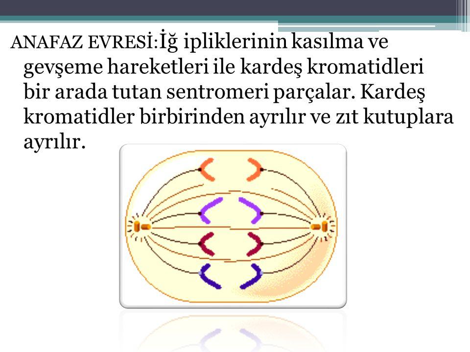 ANAFAZ EVRESİ: İğ ipliklerinin kasılma ve gevşeme hareketleri ile kardeş kromatidleri bir arada tutan sentromeri parçalar. Kardeş kromatidler birbirin