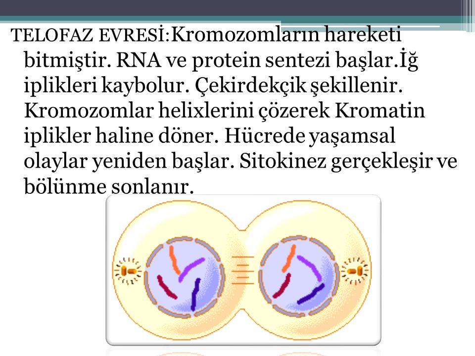 TELOFAZ EVRESİ: Kromozomların hareketi bitmiştir. RNA ve protein sentezi başlar.İğ iplikleri kaybolur. Çekirdekçik şekillenir. Kromozomlar helixlerini