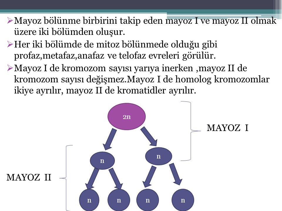  Mayoz bölünme birbirini takip eden mayoz I ve mayoz II olmak üzere iki bölümden oluşur.  Her iki bölümde de mitoz bölünmede olduğu gibi profaz,meta