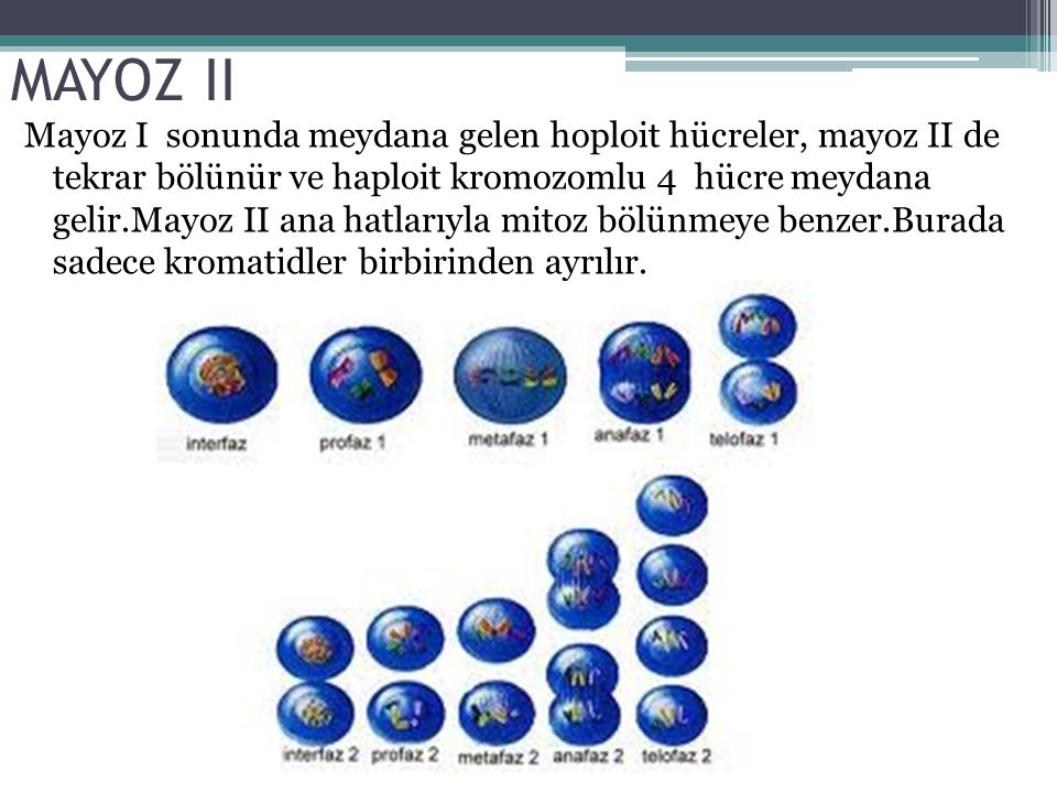 MAYOZ II Mayoz I sonunda meydana gelen hoploit hücreler, mayoz II de tekrar bölünür ve haploit kromozomlu 4 hücre meydana gelir.Mayoz II ana hatlarıyl