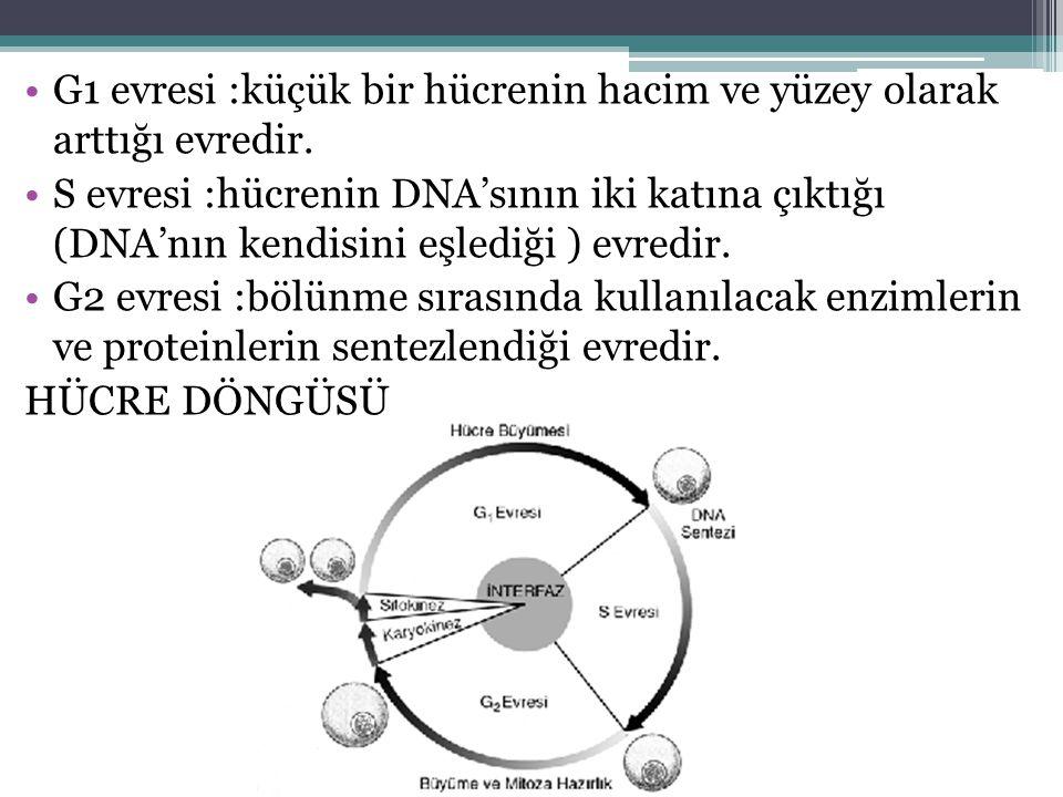 G1 evresi :küçük bir hücrenin hacim ve yüzey olarak arttığı evredir. S evresi :hücrenin DNA'sının iki katına çıktığı (DNA'nın kendisini eşlediği ) evr
