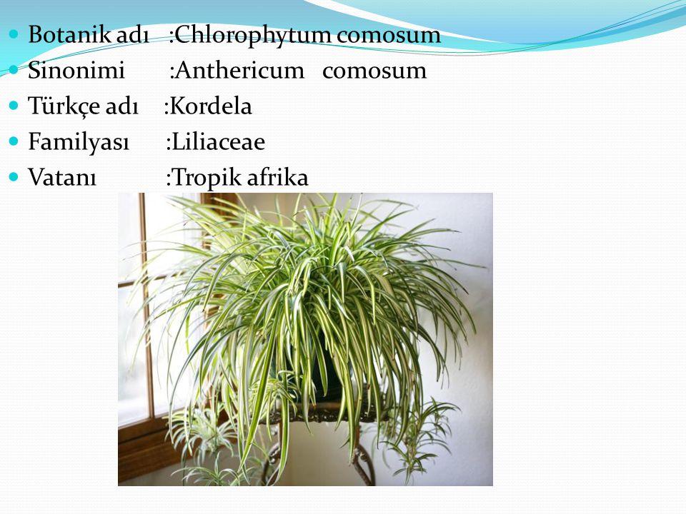 Botanik adı :Chlorophytum comosum Sinonimi :Anthericum comosum Türkçe adı :Kordela Familyası :Liliaceae Vatanı :Tropik afrika