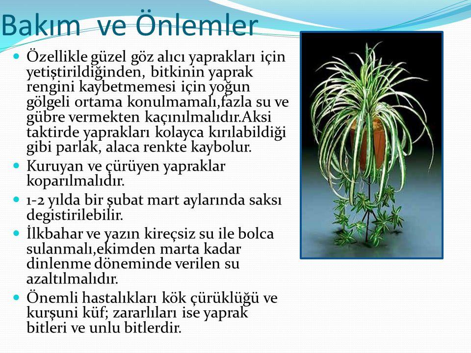 Bakım ve Önlemler Özellikle güzel göz alıcı yaprakları için yetiştirildiğinden, bitkinin yaprak rengini kaybetmemesi için yoğun gölgeli ortama konulma