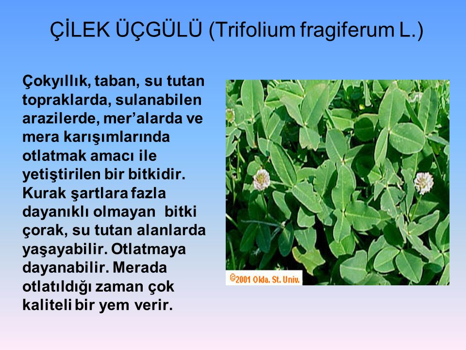 ÇİLEK ÜÇGÜLÜ (Trifolium fragiferum L.) Çokyıllık, taban, su tutan topraklarda, sulanabilen arazilerde, mer'alarda ve mera karışımlarında otlatmak amac
