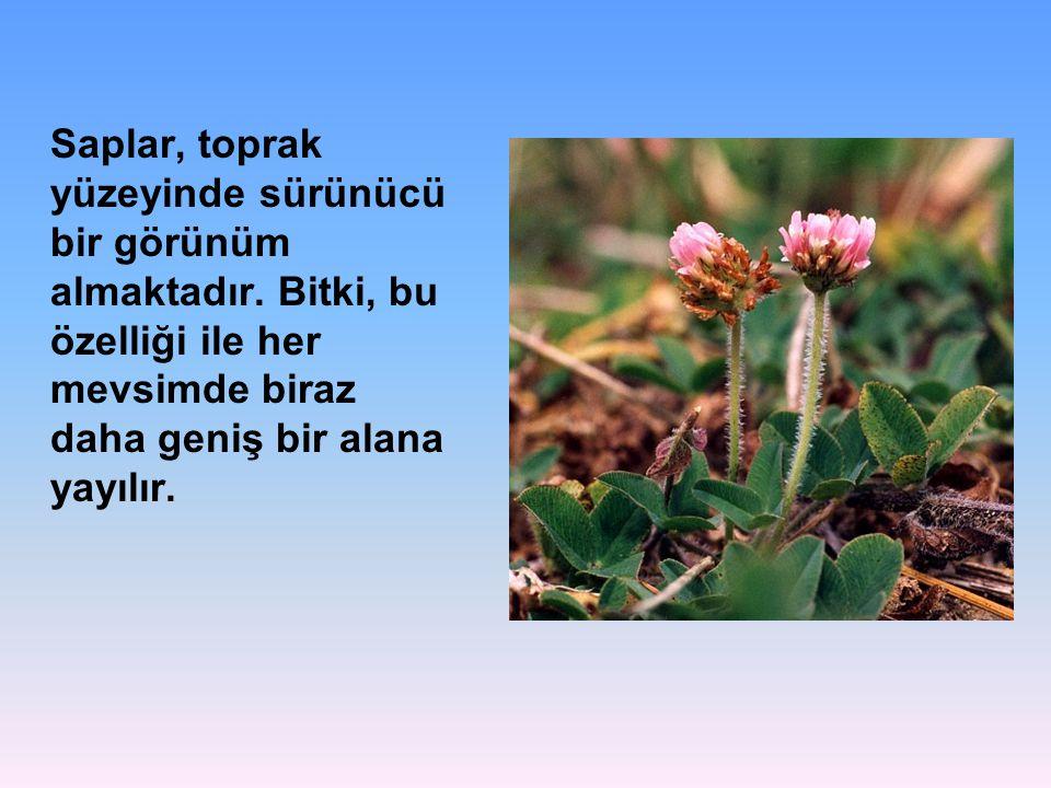 Saplar, toprak yüzeyinde sürünücü bir görünüm almaktadır. Bitki, bu özelliği ile her mevsimde biraz daha geniş bir alana yayılır.