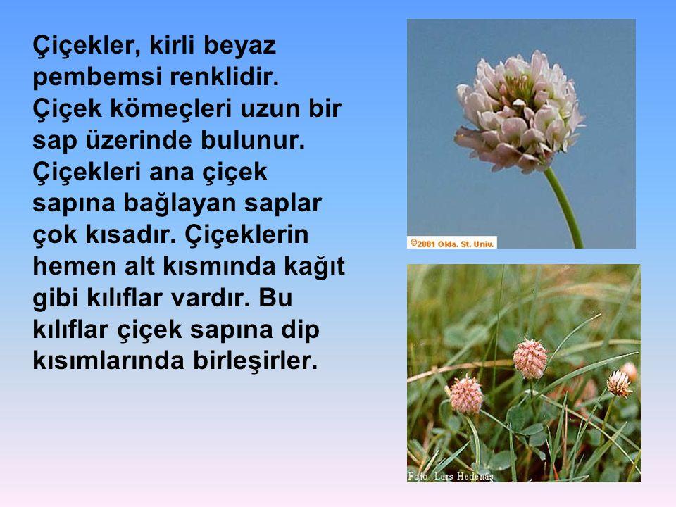 Çiçekler, kirli beyaz pembemsi renklidir. Çiçek kömeçleri uzun bir sap üzerinde bulunur. Çiçekleri ana çiçek sapına bağlayan saplar çok kısadır. Çiçek