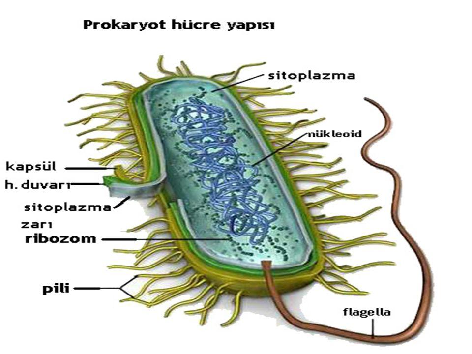 Ökaryotik hücreler Ökaryotlar (Lat.