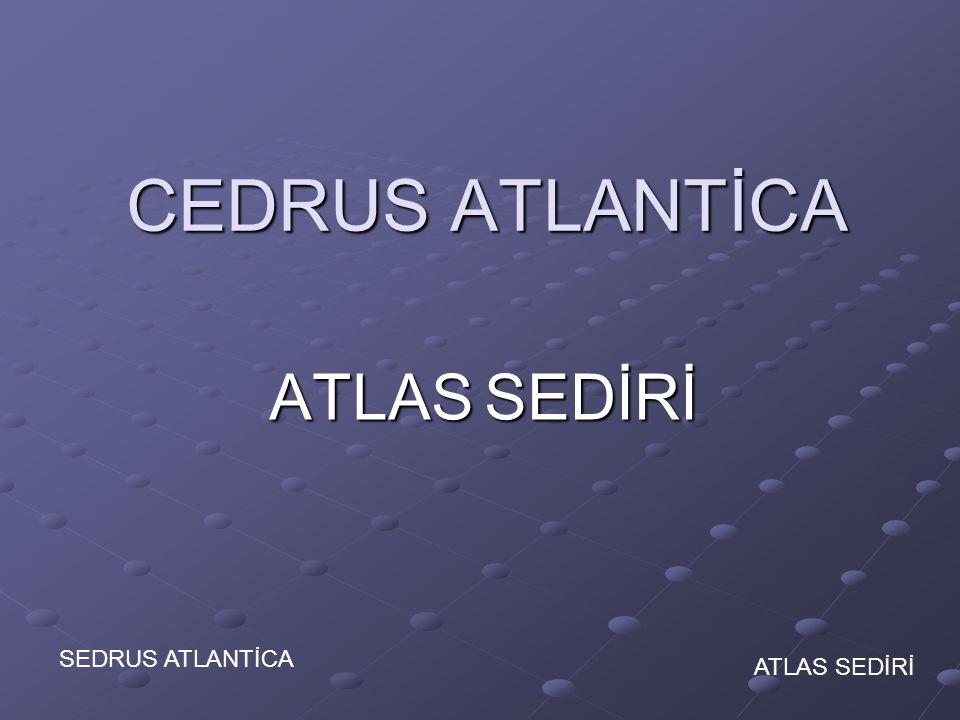 ATLAS SEDİRİ ATLAS SEDİRİ CEDRUS ATLANTİCAİ CEDRUS ATLANTİCAİ