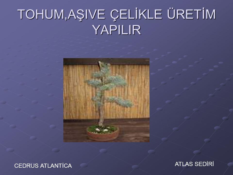 TOHUM,AŞIVE ÇELİKLE ÜRETİM YAPILIR CEDRUS ATLANTİCA ATLAS SEDİRİ