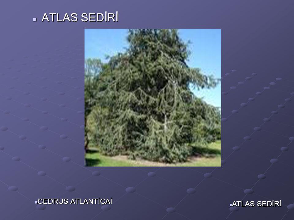 ALEM:PlantaeBÖLÜM:PinophytaSINIF:PinopsidaTAKIM:PinalesFAMİLYA:PinaceaeCİNS:Cedrus TÜR:Cedrus atlantica—Atlas sedri ATLAS SEDİRİ CEDUS ATLANTİCA CEDUS ATLANTİCA
