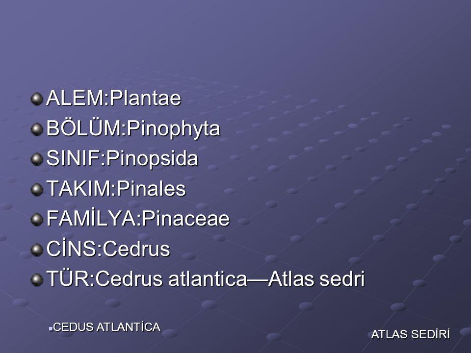 ALEM:PlantaeBÖLÜM:PinophytaSINIF:PinopsidaTAKIM:PinalesFAMİLYA:PinaceaeCİNS:Cedrus TÜR:Cedrus atlantica—Atlas sedri ATLAS SEDİRİ CEDUS ATLANTİCA CEDUS