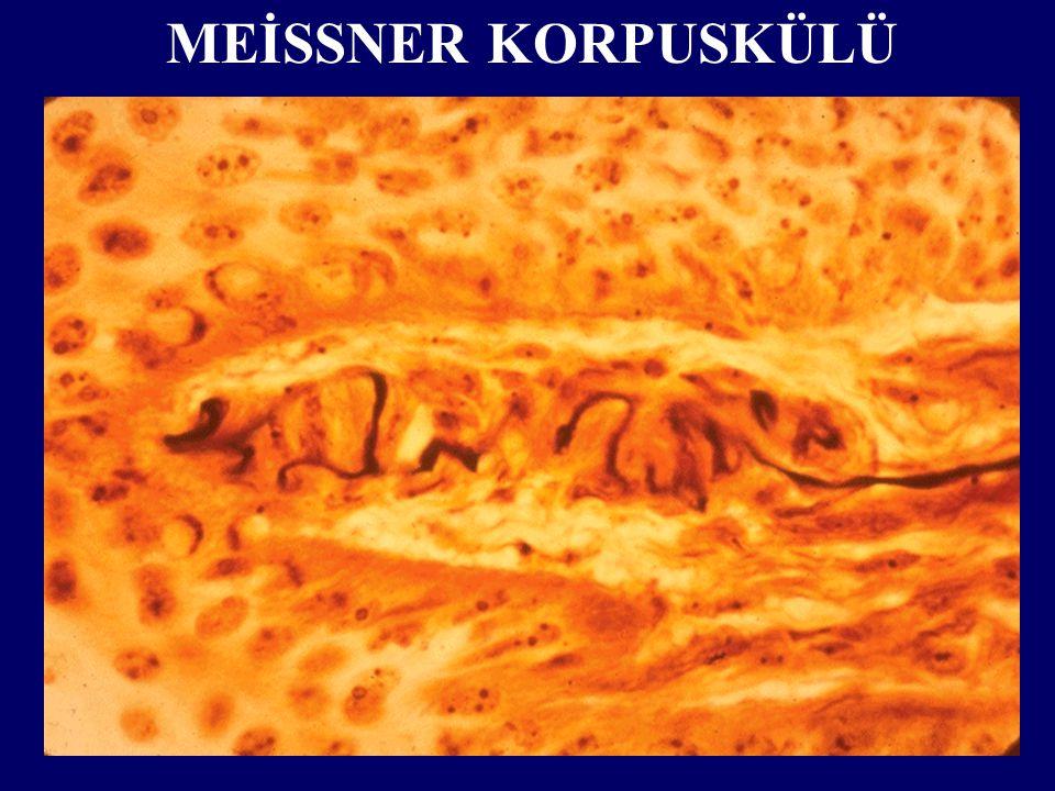 MEİSSNER KORPUSKÜLÜ