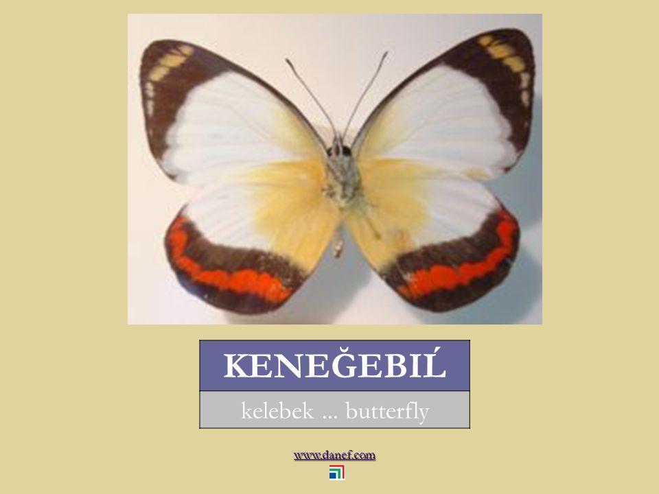 www.danef.com KAMBZEGU karınca