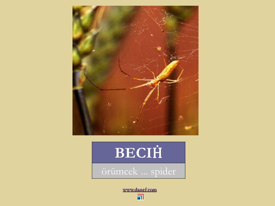 www.danef.com ŞÖM Ṕ EJ hamam böceği... cockroach