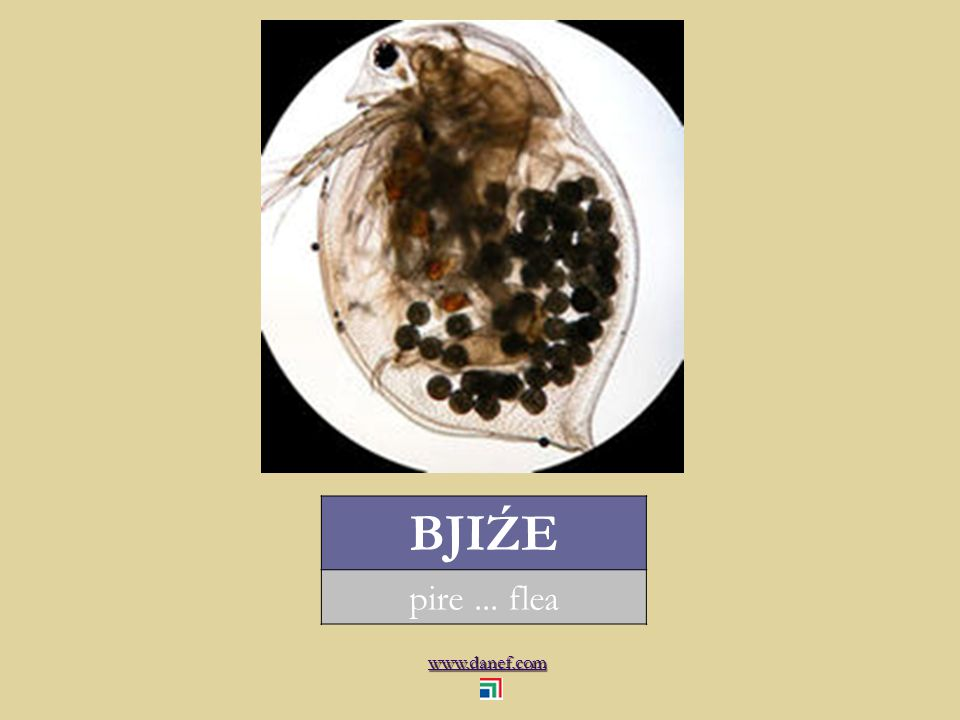 www.danef.com BJIŹE pire... flea