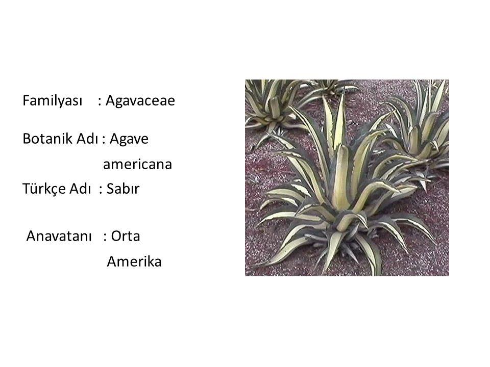 Familyası : Agavaceae Botanik Adı : Agave americana Türkçe Adı : Sabır Anavatanı : Orta Amerika