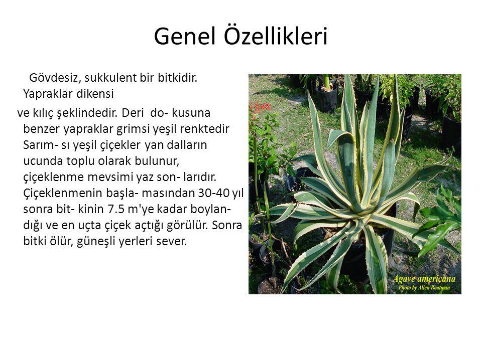 Genel Özellikleri Gövdesiz, sukkulent bir bitkidir. Yapraklar dikensi Gövdesiz, sukkulent bir bitkidir. Yapraklar dikensi ve kılıç şeklindedir. Deri d