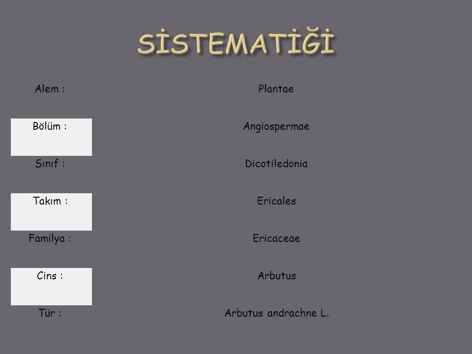 Alem : Plantae Bölüm : Angiospermae Sınıf : Dicotiledonia Takım : Ericales Familya : Ericaceae Cins : Arbutus Tür : Arbutus andrachne L.