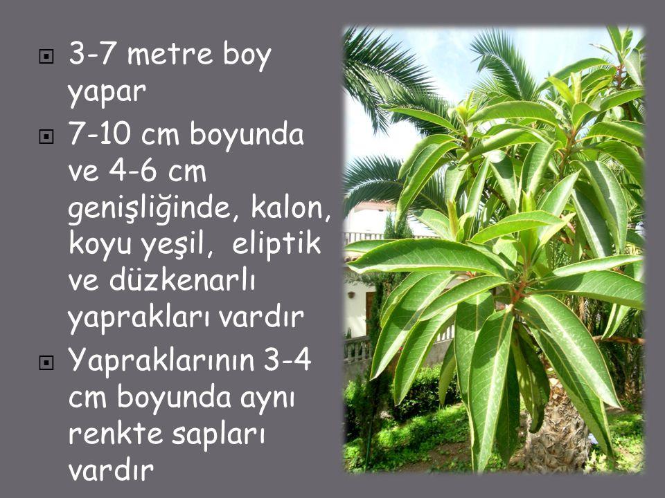  3-7 metre boy yapar  7-10 cm boyunda ve 4-6 cm genişliğinde, kalon, koyu yeşil, eliptik ve düzkenarlı yaprakları vardır  Yapraklarının 3-4 cm boyunda aynı renkte sapları vardır