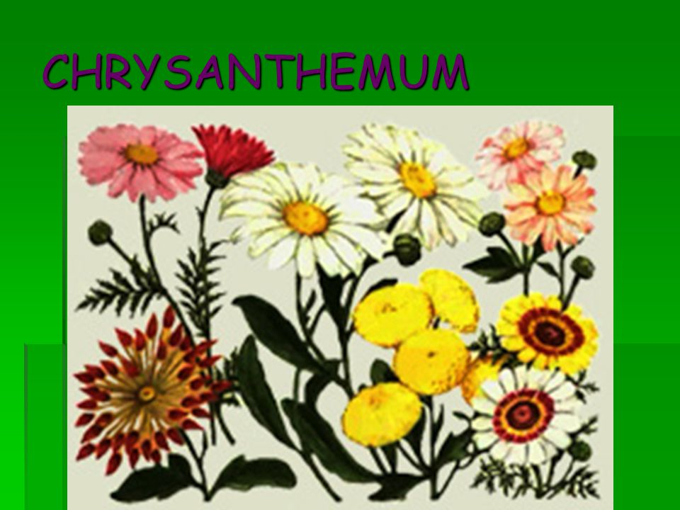 Chrysanthemum macrophyllum