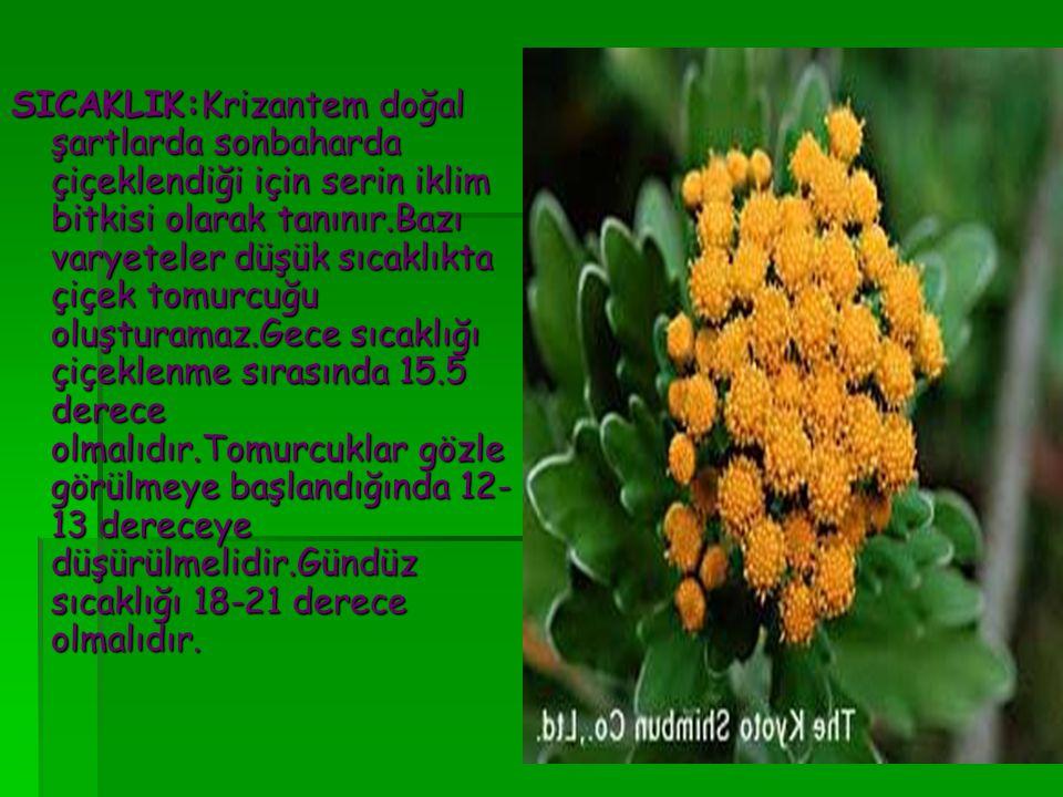 SICAKLIK:Krizantem doğal şartlarda sonbaharda çiçeklendiği için serin iklim bitkisi olarak tanınır.Bazı varyeteler düşük sıcaklıkta çiçek tomurcuğu ol