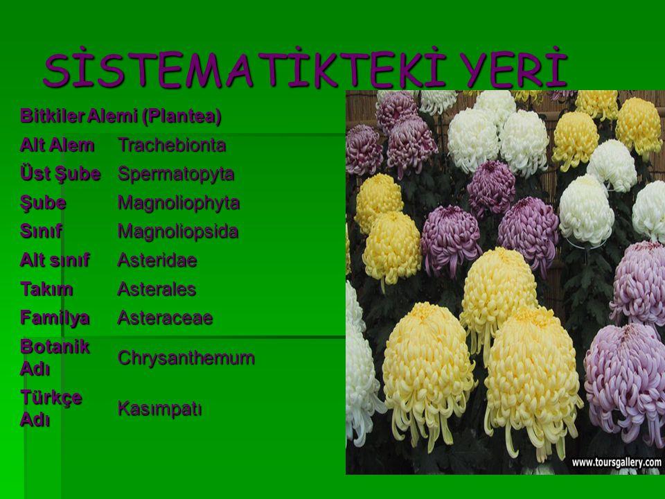 SİSTEMATİKTEKİ YERİ Bitkiler Alemi (Plantea) Alt Alem Trachebionta Üst Şube Spermatopyta ŞubeMagnoliophyta SınıfMagnoliopsida Alt sınıf Asteridae Takı