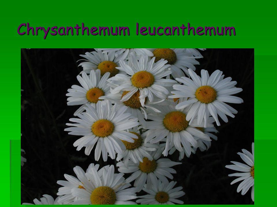 Chrysanthemum leucanthemum